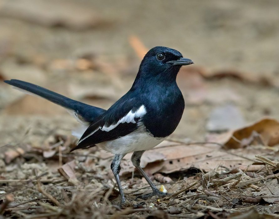 MMEA foils attempt to smuggle out 1,100 oriental magpie-robins