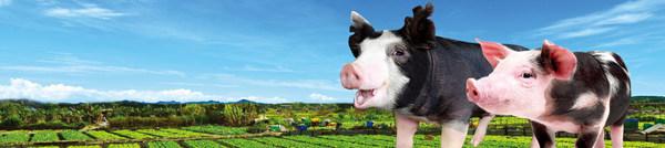 "Hong Kong Heritage Pork: John Lau Hon Kit's new innovative breed, the ""Tai Chi Pig"""