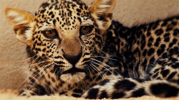 The now 5-month old Arabian Leopard baby cub is one of 16 precious leopards in AlUla's Arabian Leopard Breeding programme.