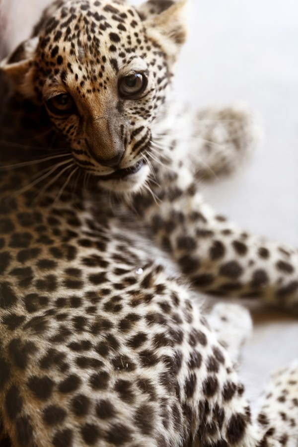 Rare Arabian Leopard baby cub, pictured here at 5 months old, offers hope for the revival of her critically endangered species in AlUla, Saudi Arabia (picture credits to Aline Coquelle).